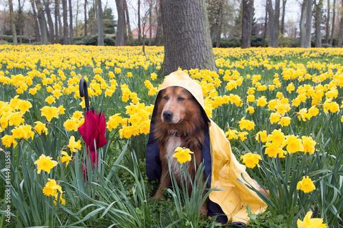 Poster Hund im Frühling mit Regenmantel und Regenschirm sitzt im Narzissen Feld