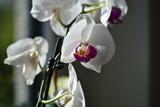 Weisse Orchideen