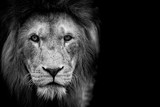 Black and White Lion - 145005156