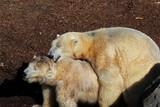 Polarbären: Eisbären bei der Paarung