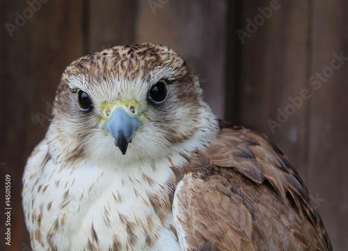 Poster Falcon