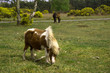 Shetland Pony New forest national park hampshire uk