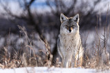 Coyote On the Prairies in Winter