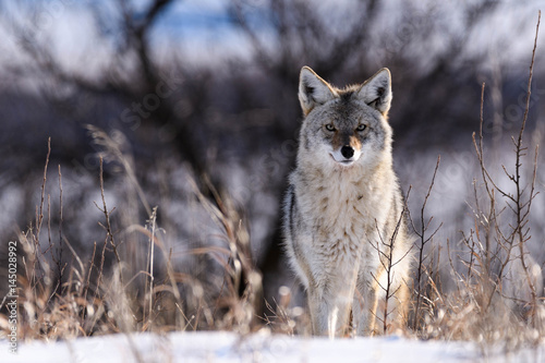 Coyote On the Prairies in Winter Poster