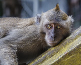 Wild Macaque Monkey Laying Down
