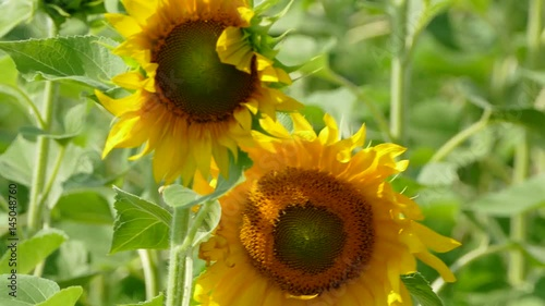 Sunflowers Swaying In The Field