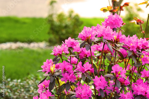 Fotobehang Azalea Azalea, flowering shrubs member of the genus Rhododendron