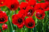 Tulips in the spring bloom