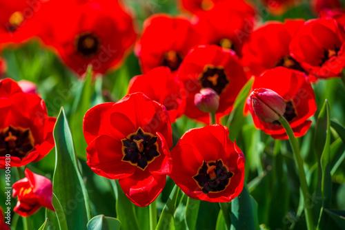 Papiers peints Rouge Tulips in the spring bloom