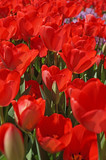 Beautiful tulips bloom in the spring in city parks and squares
