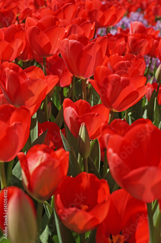 Aluminium Rood traf. Beautiful tulips bloom in the spring in city parks and squares