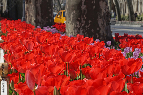 Fotobehang Rood traf. Beautiful tulips bloom in the spring in city parks and squares