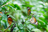 The common tiger butterfly spread the wings