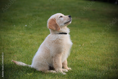 Poster cucciolo di Golden Retriever