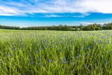 Blue cornflowers field landscape, rural field in the summer, landscape