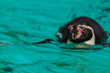 Pinguin im Wasser