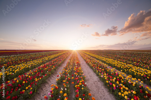 Fotobehang Tulpen Beautiful field of colorful tulips at sunset