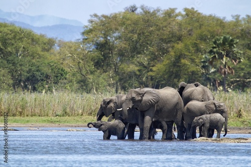 Herd of elephants drinking Poster