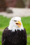 Portrait of a bald eagle on grass.