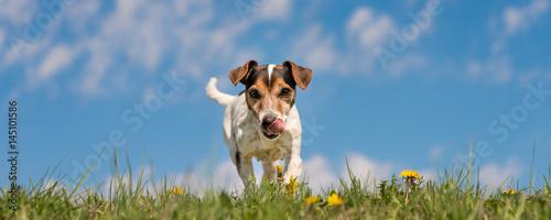 Hund läuft über grüne Wiese mit Löwenzahn - Jack Russell 10 Jahre alt  - 145101586