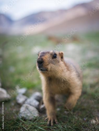 Prairie dog, Leh Ladakh , India