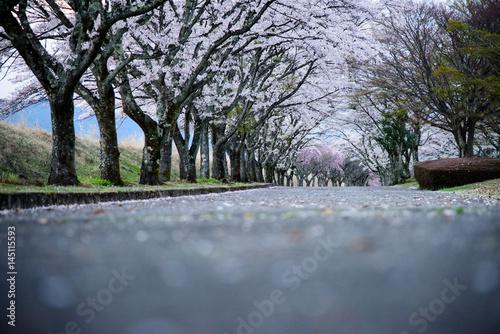 Sakura road Poster