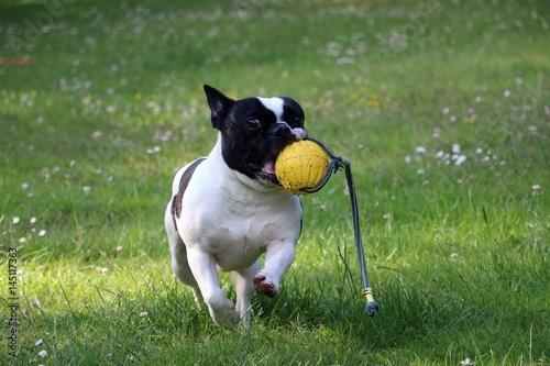 Papiers peints Bouledogue français französische bulldogge mit spielzeug