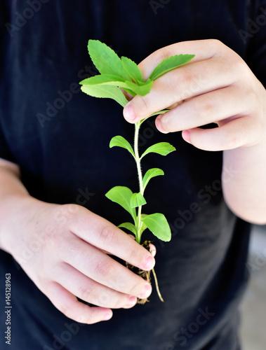 Stevia junger Sämling