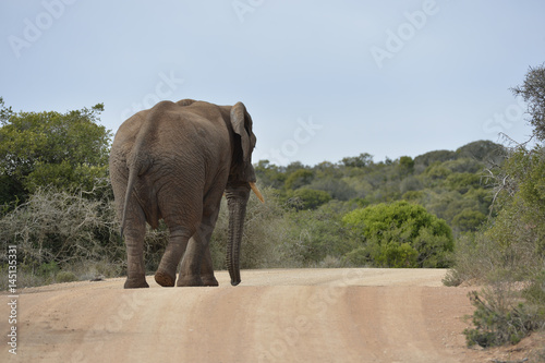 Large African Elephant walking on street