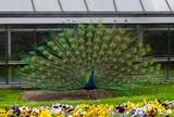 Beautiful blue peacock at Wilhelma Zoo in Stuttgart.