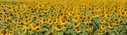Panoramic sunflower field in bloom