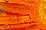 orange gerbera with waterdrops