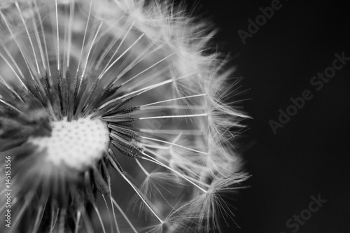 Black and white image of a seed head of the dandelion family with many seeds already dispersed © andrea