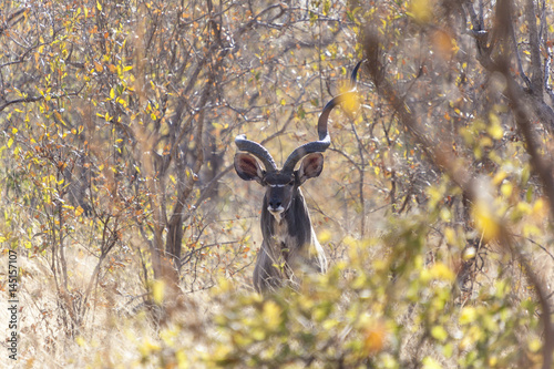 Papiers peints Hyène A kudu bull with large horns peeping out of the African bush