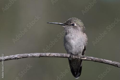 Anna's hummingbird. Poster