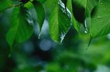 雨に濡れる青葉