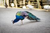 Island Peacock III