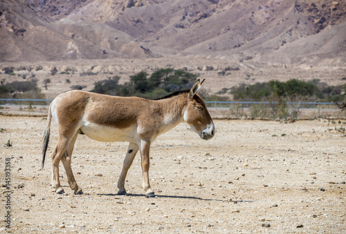 Poster Ezel Onager (Equus hemionus) is a brown Asian wild donkey inhabits nature reserve park near Eilat, Israel