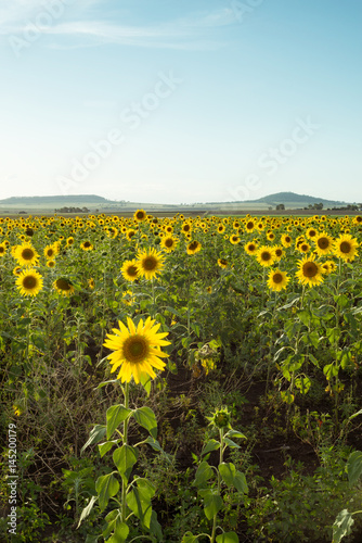 sunflowers in a field near Toowoomba, Queensland, Australia.