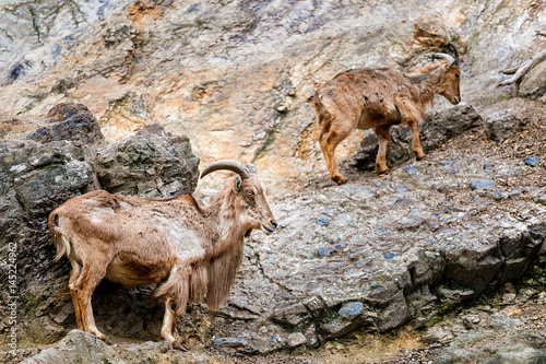 Foto op Plexiglas Cyprus Bharal or blue sheep Pseudois nayaur in the enclosure at the Prague Zoo