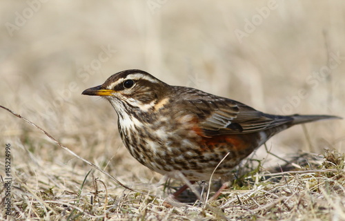 Póster Redwing, song thrush, Turdus iliacus, birds of Iceland