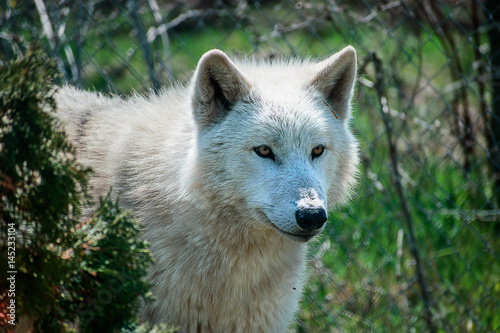 White Arctic Wolf Poster