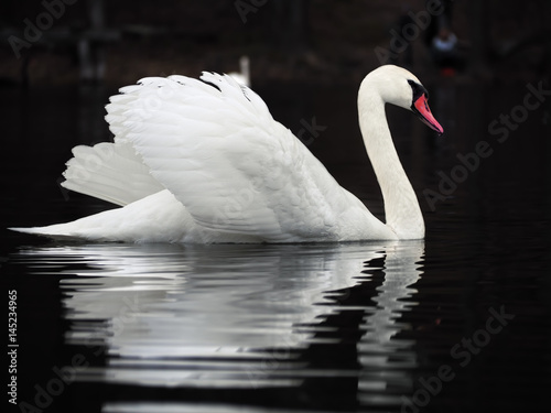 Fotobehang Zwaan White swan at the dark lake background