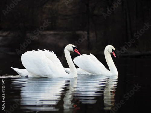 Fotobehang White swans at the dark lake background with beautiful reflecion at the water