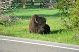 Bison im Gras