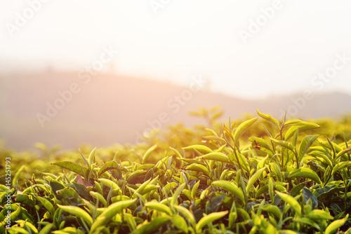 Beautiful upper green tea leaves at tea plantation at sunset