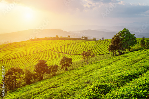 Amazing view of tea plantation. Scenic summer rural landscape
