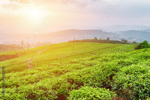 Fantastic view of beautiful tea plantation at sunset