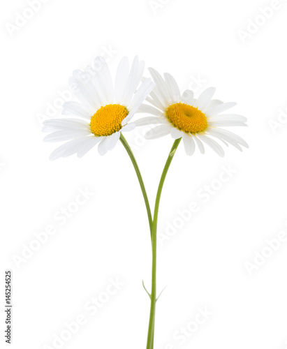 Foto op Canvas Madeliefjes Two Chamomiles isolated on white background.