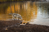 Grey Wolf (Canis lupus) Looks Into River